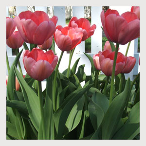 Pink Tulips (25 Bulbs)