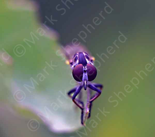 Robber Fly 00000
