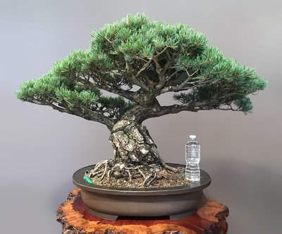 JAPANESE WHITE PINE - SOLD -