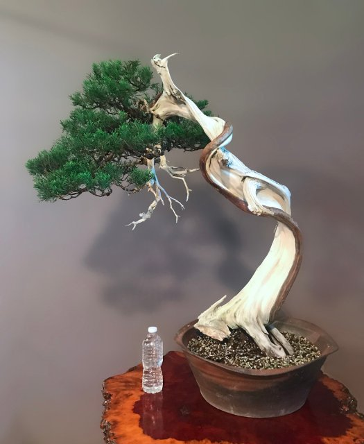 SHIMPAKU 'ITOIGAWA' JUNIPER