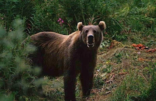 Grizzly Bear at Byers Lake