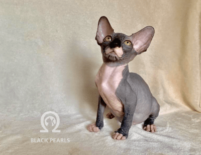 BLACK PEARLS BONSAI ♀