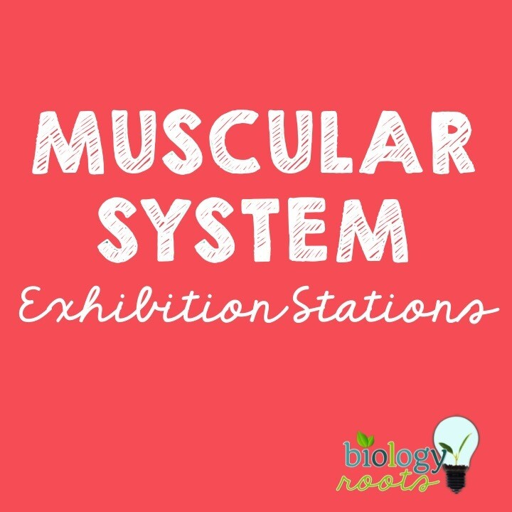 Muscular System Exhibition Stations