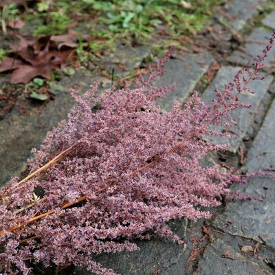 Soft Feathery Purple Dried Astilbe Blossoms