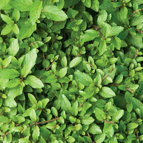Mint Herb Plant
