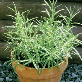 Rosemary Herb Plant