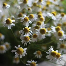 Chamomile Herb Plant