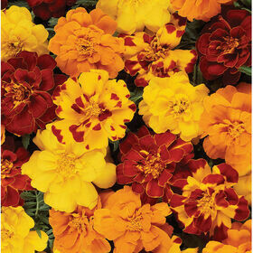 French Marigolds 4-pack