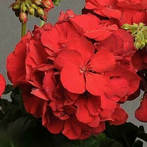 Red Geranium for sun (color bowl)