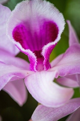 Dendrobium 02 (close up)