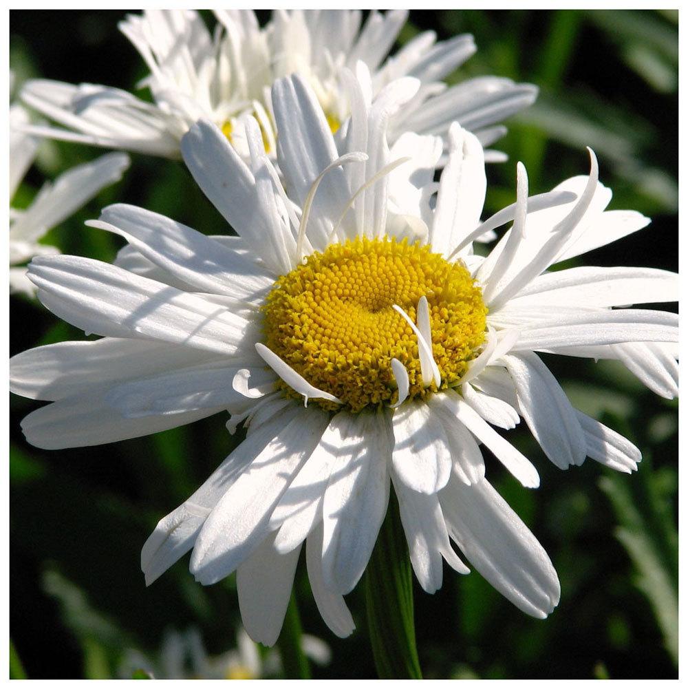 Leucanthemum 'Crazy Daisy' 00363