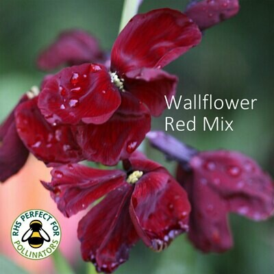 Red Wallflower Mix