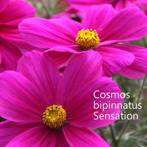 Cosmos bipinnatus Sensation Mixed 00036