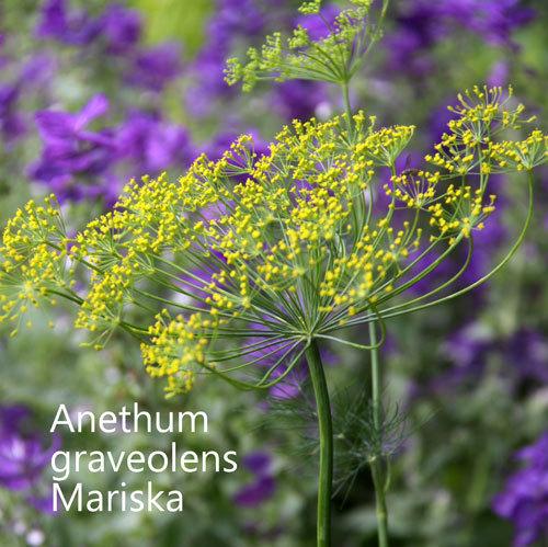 Anethum graveolens Mariska 00070
