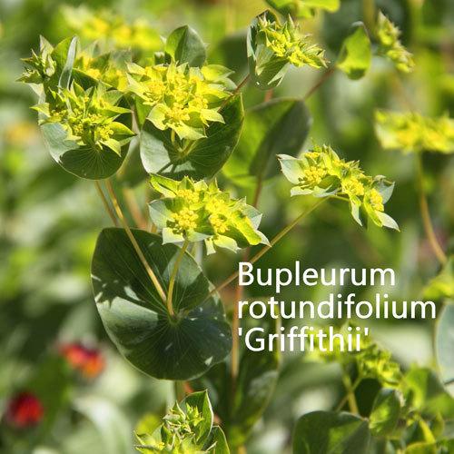 Bupleurum rotundifolium Griffithii 00019