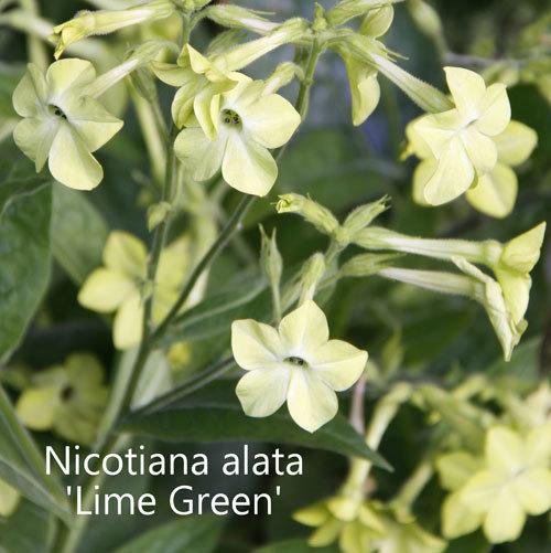 Nicotiana alata 'Lime Green' 00049