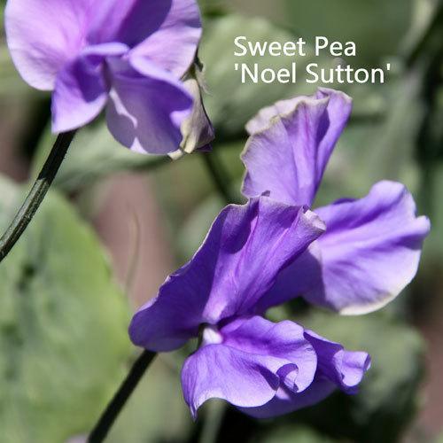 Sweet Pea 'Noel Sutton'