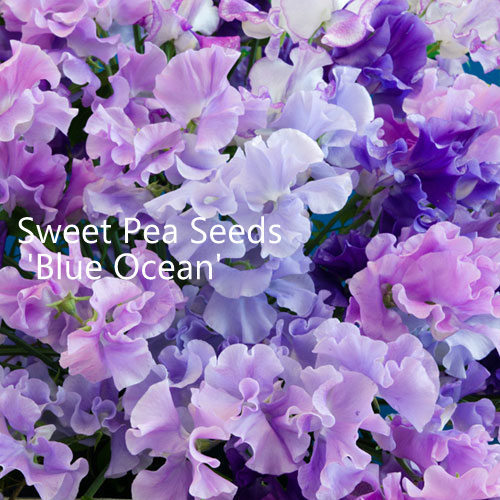 Sweet Pea Seeds Mix 'Blue Ocean'