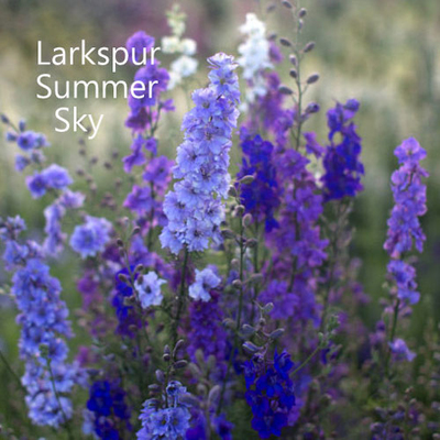 Larkspur 'Summer Sky'