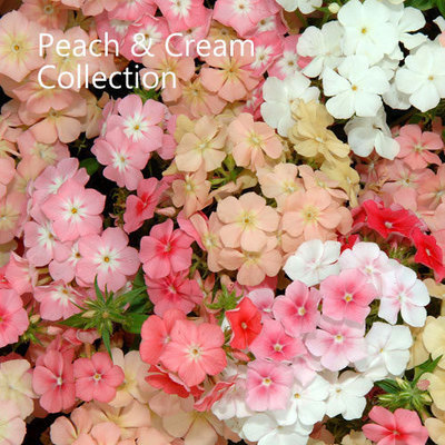 Peach & Cream Collection