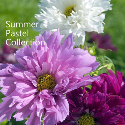 Summer Pastels Seed Collection