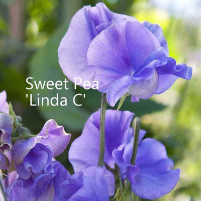 Sweet Pea 'Linda C'