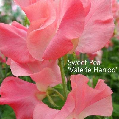 Sweet Pea 'Valerie Harrod'