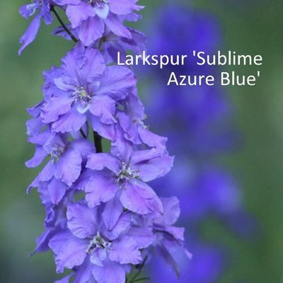 Larkspur 'Light Blue'