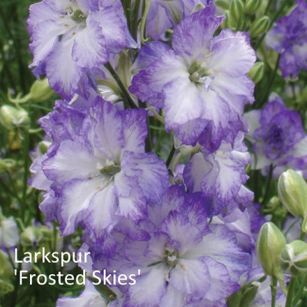 Larkspur 'Frosted Skies' 00066