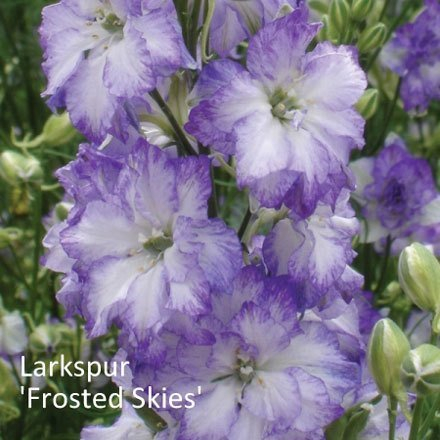 Larkspur 'Frosted Skies'