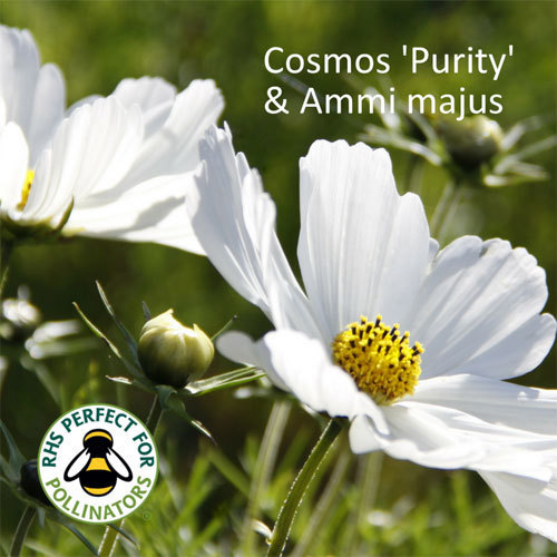 Cosmos 'Purity' & Ammi majus 00171