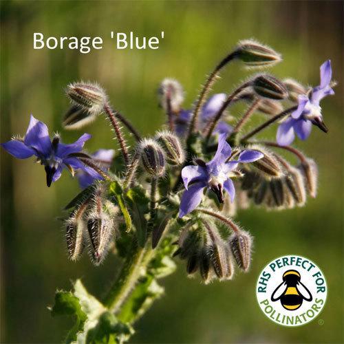 Borage 'Blue' 00185