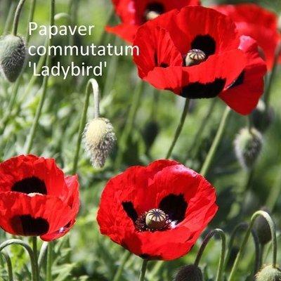 Papaver commutatum 'Ladybird'