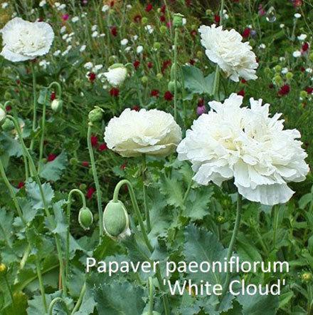 Papaver paeoniflorum 'White Cloud' 00200