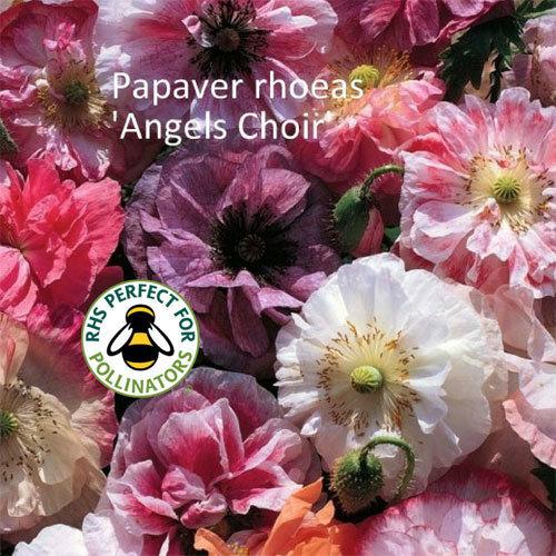 Papaver rhoeas 'Angels Choir' 00193