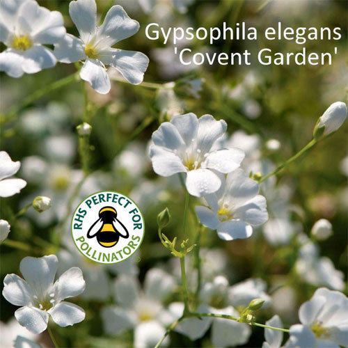 Gypsophila elegans 'Covent Garden' 00211