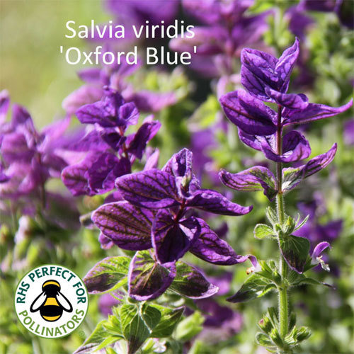Salvia viridis Oxford Blue 00024