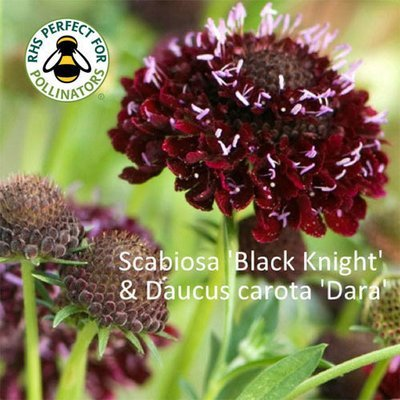 Daucus carota 'Dara' & Scabiosa 'Black Knight'