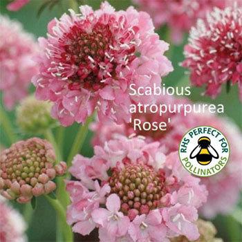 Scabiosa 'Rose' 00165
