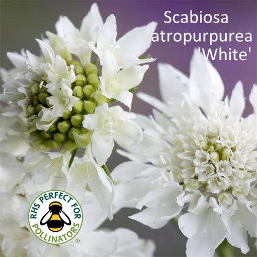 Scabiosa 'White' 00164