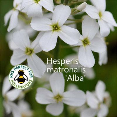 Hesperis matronalis 'Alba' 00076
