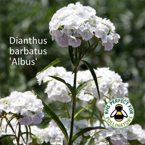 Dianthus barbatus 'Albus'