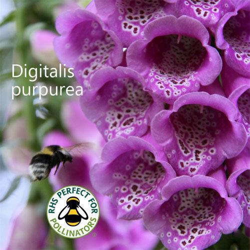 Digitalis purpurea 00081
