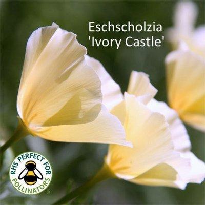 Eschscholzia Ivory Castle