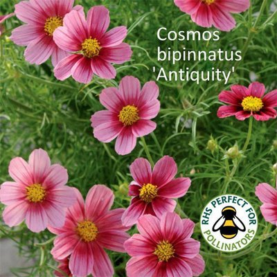 Cosmos 'Antiquity'