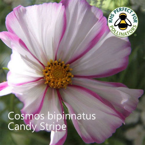 Cosmos bipinnatus Candy Stripe
