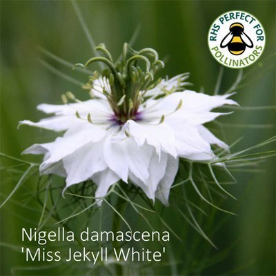 Nigella damascena 'Miss Jekyll White'