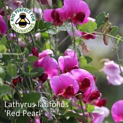 Lathyrus latifolius 'Red Pearl'