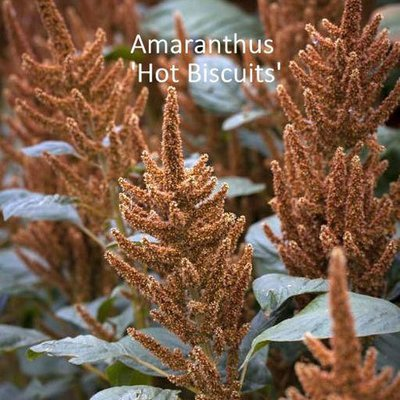 Amaranthus cruentus 'Hot Biscuits'
