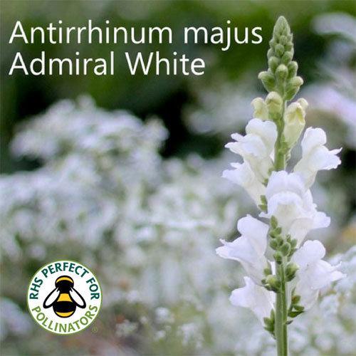 Antirrhinum majus Admiral White 00053